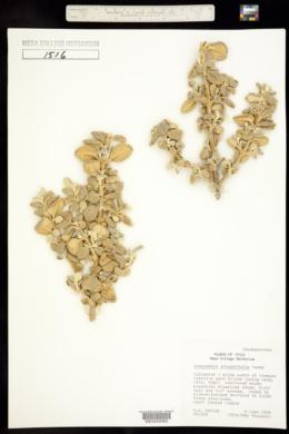 Shepherdia rotundifolia image