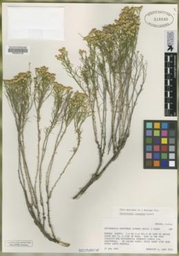Gutierrezia ionensis image