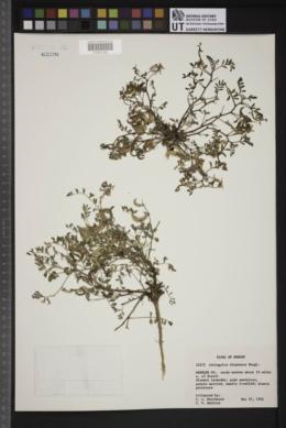Image of Astragalus diaphanus
