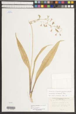 Anticlea occidentalis image