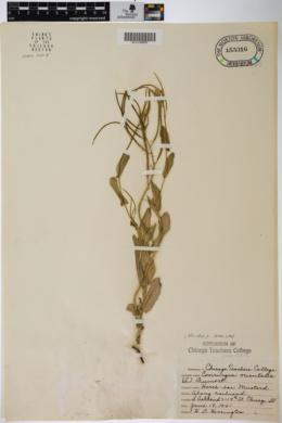 Image of Conringia orientalis