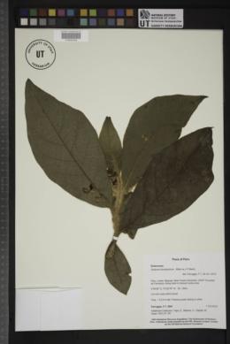 Solanum kioniotrichum image