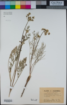 Lomatium utriculatum image
