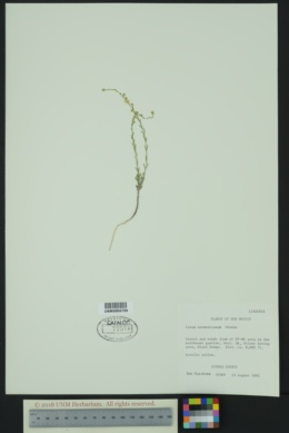 Linum neomexicanum image