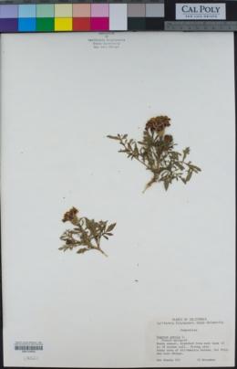 Tagetes patula image