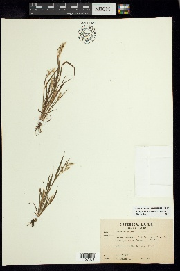 Image of Paspalum guayanerum