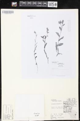 Anchusa arvensis image