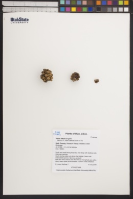 Pinus edulis image