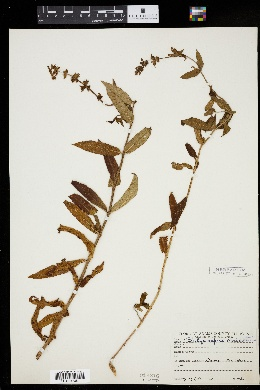 Image of Stachys aspera
