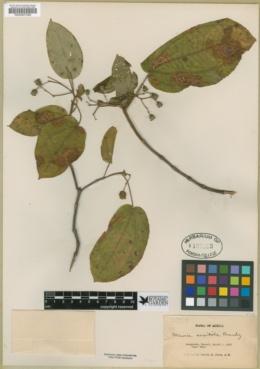 Miconia saxicola image