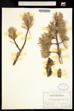Image of Arceuthobium cyanocarpum