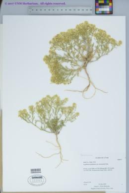 Lepidium montanum var. montanum image