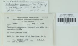 Anthracoidea verrucosa image
