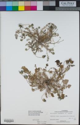 Image of Arctotheca calendula
