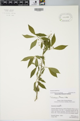 Image of Euonymus maackii