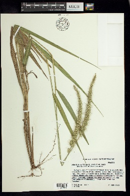 Image of Setaria tenax