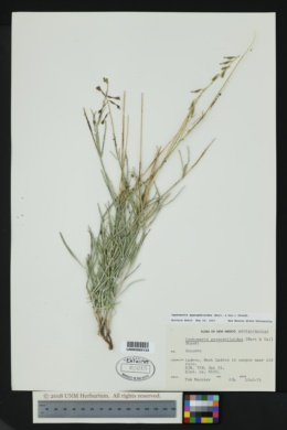 Cyphomeris gypsophiloides image