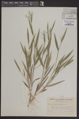 Image of Panicum pseudopubescens