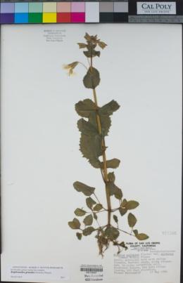 Erythranthe grandis image