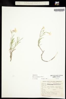 Image of Phlox caryophylla
