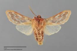Lophocampa roseata image