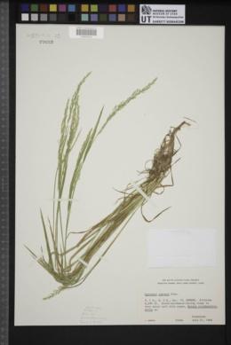 Agrostis exarata image