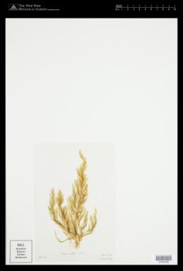 Desmarestia viridis image