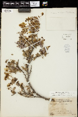 Image of Cassia purpusii