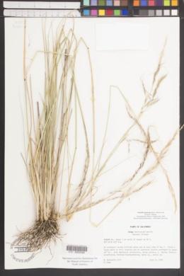 Image of Nassella manicata