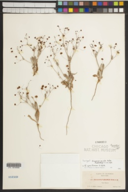 Image of Eriogonum variabile