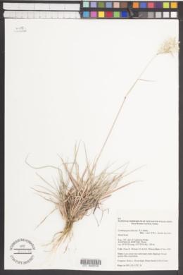 Image of Cymbopogon obtectus