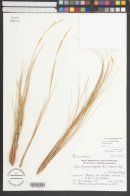 Pappostipa vaginata image