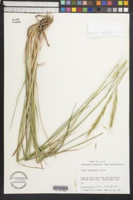 Image of Elymus fedtschenkoi