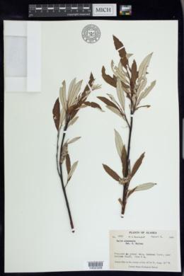 Salix alaxensis image