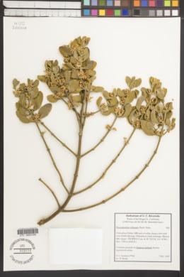 Phoradendron villosum image
