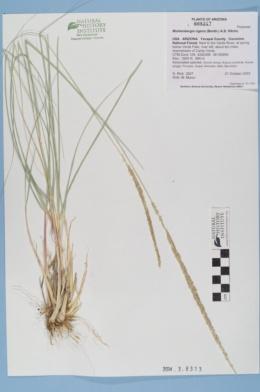 Muhlenbergia rigens image