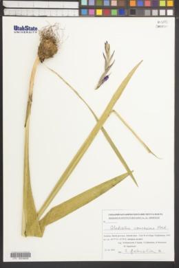 Image of Gladiolus caucasicus