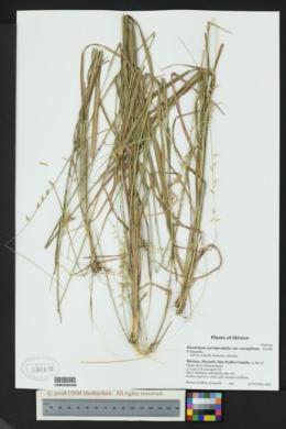 Bouteloua curtipendula var. caespitosa image