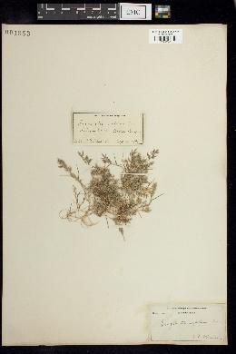 Image of Eragrostis reptans
