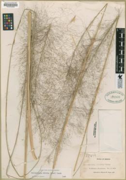 Image of Muhlenbergia stricta