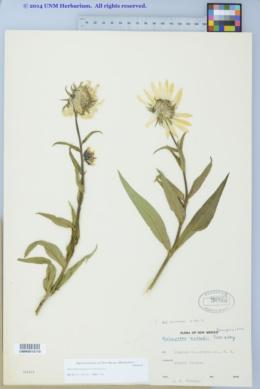 Helianthella quinquenervis image