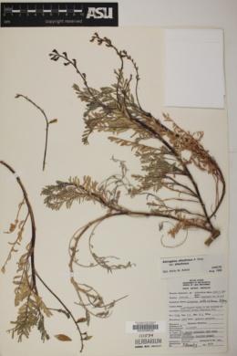 Astragalus allochrous image