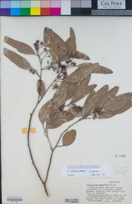 Eucalyptus polyanthemos image