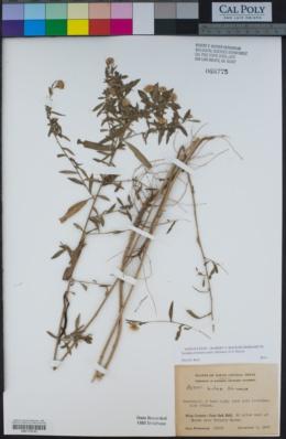 Image of Symphyotrichum eulae