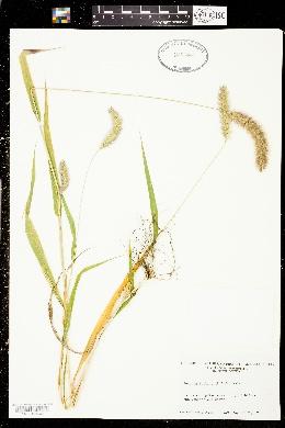 Setaria italica image