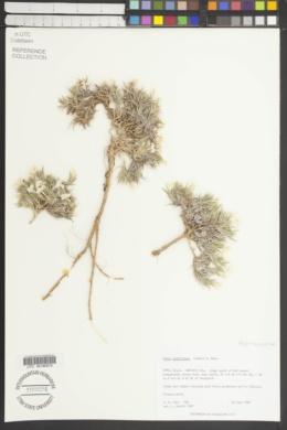 Phlox gladiformis image