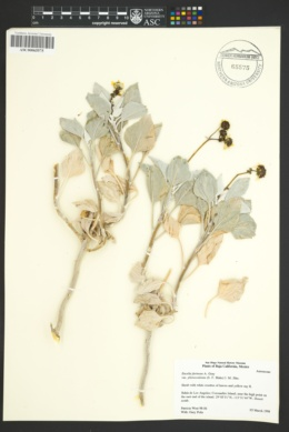 Encelia farinosa var. phenicodonta image