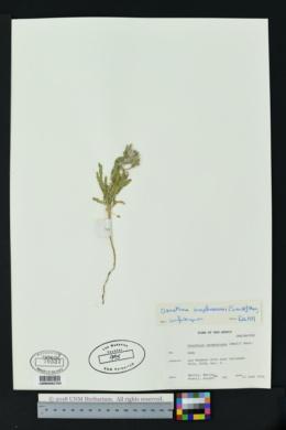 Oenothera engelmannii image