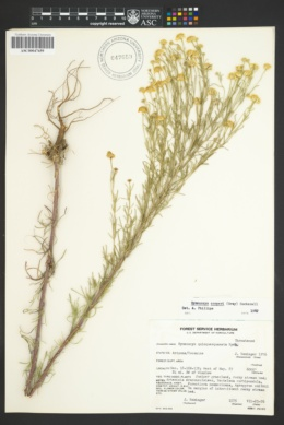 Image of Hymenoxys quinquesquamata