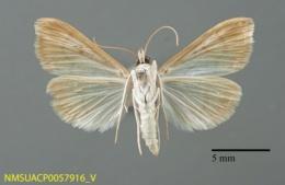 Helvibotys helvialis image